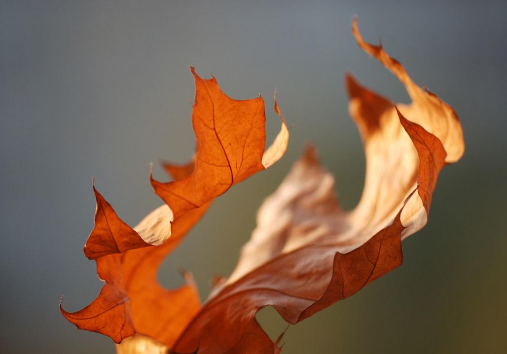 Огонь осени, листья на солнце