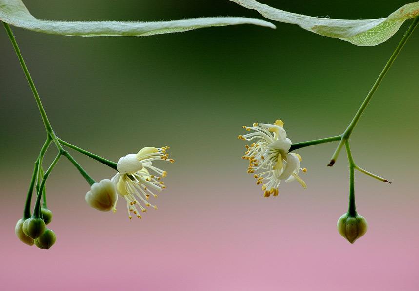 Цветы Липа