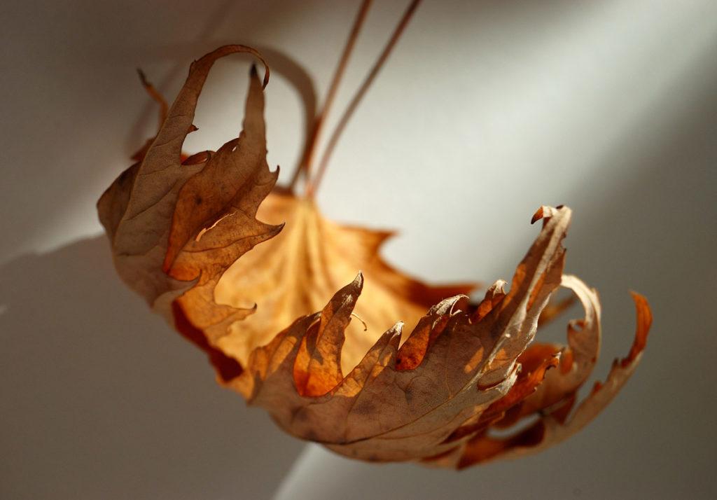 Оживление, сухие кленовын листья